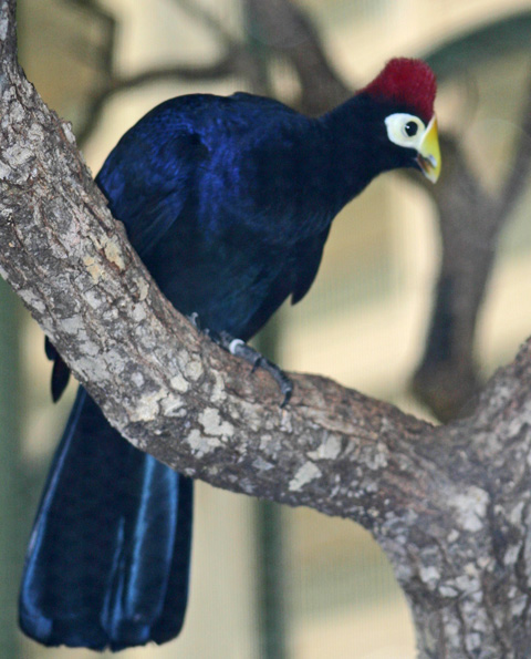 http://www.lonestarnorth.com/Pics%20Mike/NATURE/birds/exotic/ross%27s-turaco-035.jpg